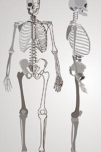 骨盤の理想的な状態(人体模型)